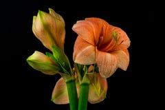 Green-apricot amaryllis Royalty Free Stock Photos
