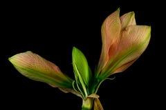 Green-apricot amaryllis Royalty Free Stock Photo