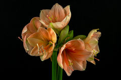 Green-apricot amaryllis Royalty Free Stock Images