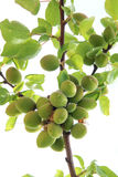 Green apricot fruits Stock Photography