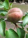 Green apricot. Getting ready for summer. stock photos
