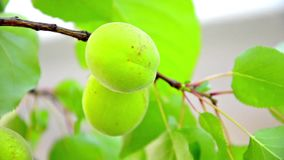 Green apricot on tree Royalty Free Stock Photography