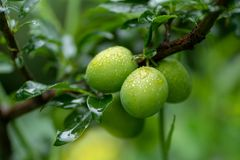 Green apricots on a branch with rain drops in soft focus stock photo