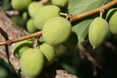 Green apricots on branch stock photo