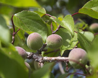 Green apricots ripening on the tree Royalty Free Stock Images