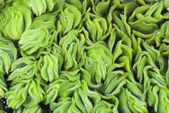 Green Aqua Plant. A close-up shot of green aqua plant stock photo
