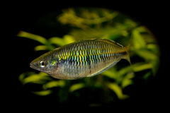 Green aquarium fish Stock Photo