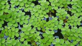 Green aquatic plant nature background. Green aquatic plant on the lake nature background stock video