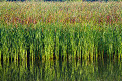 Green aquatic plant Stock Images