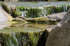 Green aquatic plants and water flowing over stones. Tranquil scene of green aquatic plants and water flowing over stones. This photo was taken on sunny day in a royalty free stock image