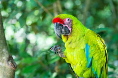 Green ara macaw parrot outdoor. Beautiful cute funny bird of red feathered ara macaw parrot outdoor on green natural background Stock Image