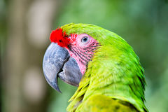 Green ara macaw parrot outdoor. Beautiful cute funny bird of red feathered ara macaw parrot outdoor on green natural background Royalty Free Stock Images