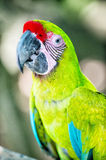 Green ara macaw parrot outdoor. Beautiful cute funny bird of red feathered ara macaw parrot outdoor on green natural background Stock Photography