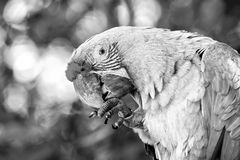 Green ara parrot outdoor. Ara parrot, beautiful cute funny bird of green and red feathered outdoor on green natural background Stock Image