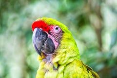 Green ara parrot outdoor Stock Photography