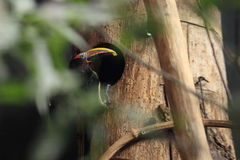 Green aracari Royalty Free Stock Photo