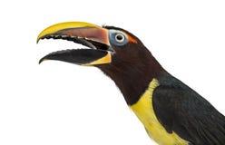 Green aracari opening his beak isolated on white Royalty Free Stock Images