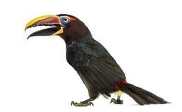 Green aracari opening his beak isolated on white Royalty Free Stock Photos