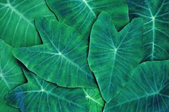 Green araceae leaf texture pattern, beautiful nature texture background concept. Copy space healthy pleasant natural dramatic closeup plant symmetry organic royalty free stock images