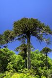 Green araucaria araucana pine trees in Conguillio NP in central Chile against deep blue cloudless sky royalty free stock photo