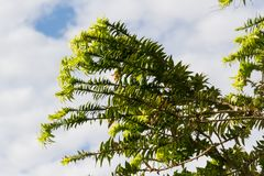 Araucaria in summer in the city of federation, province of entre rios argentina. Green araucaria on sky in summer Stock Photos