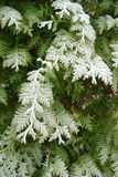 Green arborvitae branch. In the garden after frost Royalty Free Stock Image