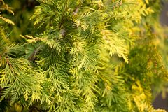 Green arborvitae branch on the nature. In the park in nature Royalty Free Stock Photography