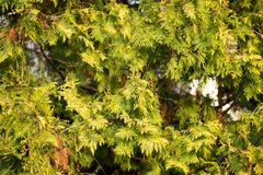 Green arborvitae branch on the nature. In the park in nature Royalty Free Stock Photo