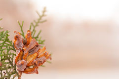 Green arborvitae branch. With open cones Stock Images