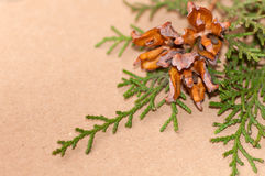 Green arborvitae branch with open cones. On brown background Stock Photography