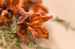 Green arborvitae branch with open cones. On brown background Royalty Free Stock Images