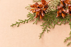 Green arborvitae branch with open cones. On brown background Royalty Free Stock Image