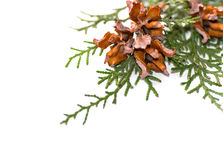 Green arborvitae branch with open cones. On a white background Stock Photos