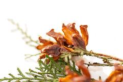 Green arborvitae branch with open cones. On a white background Royalty Free Stock Photo