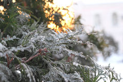 Green arborvitae branch in the snow. At sunset Stock Photo