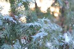 Green arborvitae branch in the snow. At sunset Stock Image
