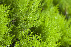 Green arborvitae close-up. Fresh and green Stock Images