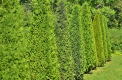 Green arborvitae planted in a row and trimmed. Under the cone Royalty Free Stock Photo
