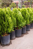 Green arborvitae seedlings. Arborvitae seedlings in pots for planting in the ground Stock Images