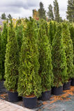 Green arborvitae seedlings. Arborvitae seedlings in pots for planting in the ground Stock Photo