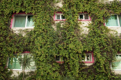 Green architecture building facade with ivy plants Royalty Free Stock Image