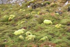 Green Arctic tundra, summer (Svalbard) Stock Image
