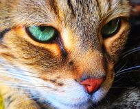 Free Green Are The Eyes Of The Majestic Cat Royalty Free Stock Image - 149018646