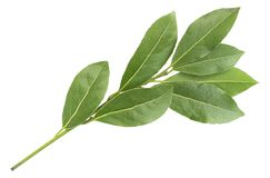 Green aromatic bay leaf branch photo, isolated on white. Laurel twigs. Photo of laurel bay harvest for eco cookery business. Antio. Xidant kitchen herbs stock images