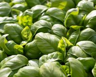 Green aromatic Mediterranean basil leaves all close together Stock Image