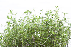 Green aromatic plant Stock Photo