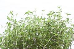 Green aromatic plant stock photo
