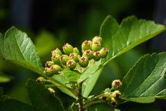 Green arrowwood. Green berry of arrowwood in sunlight in spring Royalty Free Stock Images