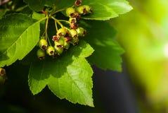Green arrowwood. Green berry of arrowwood in sunlight in spring Royalty Free Stock Image