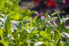Green arugula growing in garden. Vegetable diet plant. Vegan food ingredient royalty free stock photo
